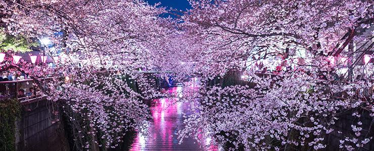 桜の名所・目黒川の満開の夜桜
